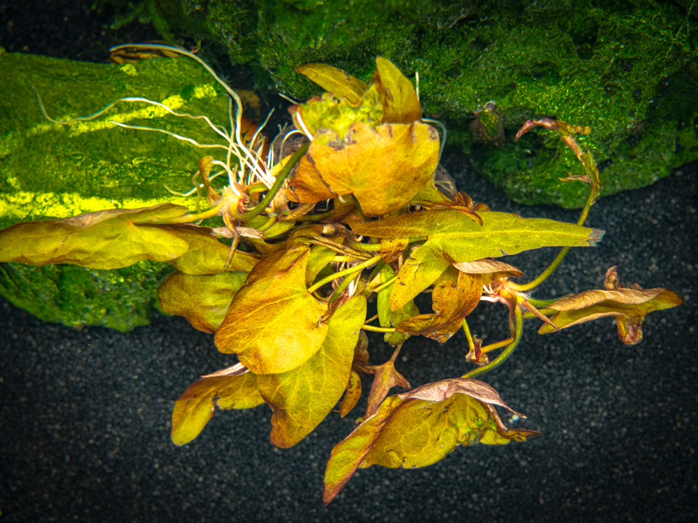 Dwarf Aquarium Lily (Nymphaea stellata), plant with bulb