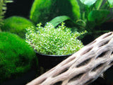 Dwarf Baby Tears Pot - Hemianthus callitrichoides