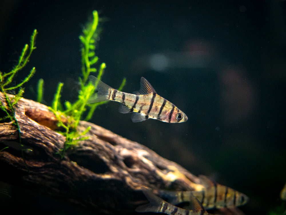 Eight-Banded Barb (Eirmotus octozona)