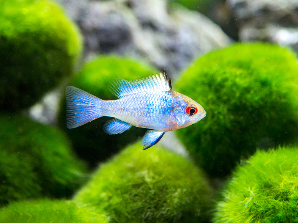 "Electric Blue Ram Cichlid (Mikrogeophagus ramirezi var. ""Electric Blue"") -  USA Tank-Raised!"
