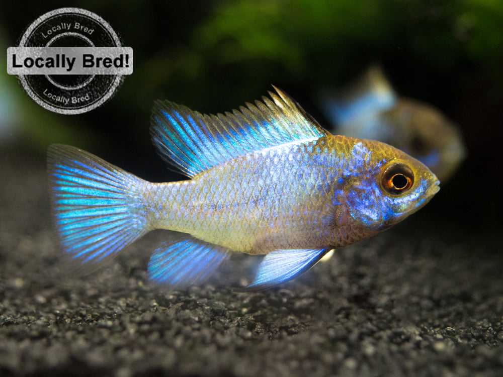 "Electric Blue Ram Dwarf Cichlid (Mikrogeophagus ramirezi ""Electric Blue"") -  LOCALLY BRED!!!"
