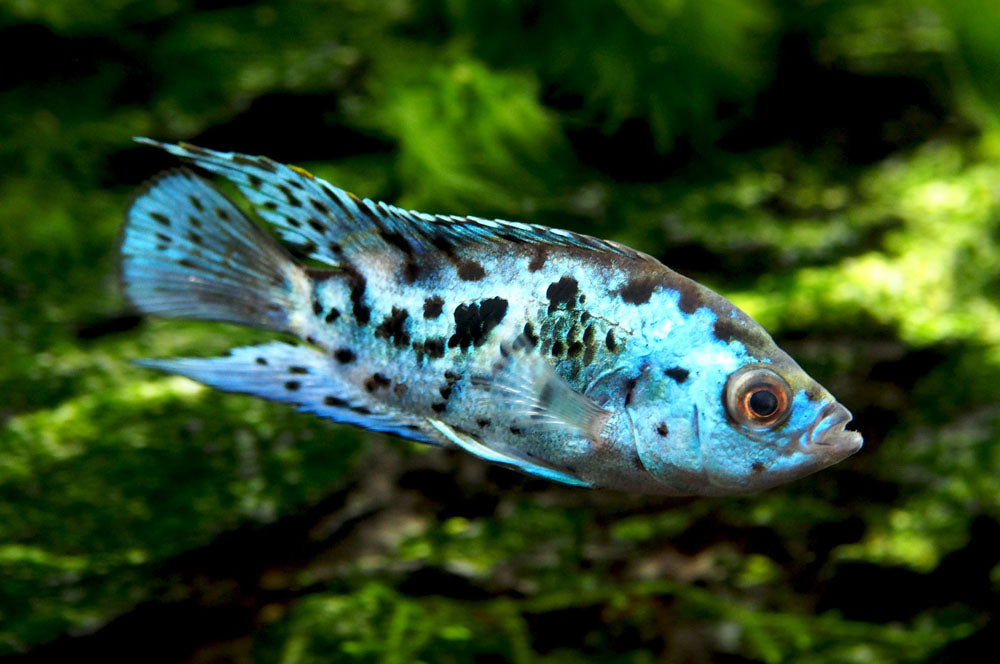 "Electric Blue AKA Powder Blue Jack Dempsey Cichlid (Rocio octofasciata ""Electric Blue""), Tank-Bred!"
