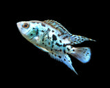 Electric Blue AKA Powder Blue Jack Dempsey Cichlid (Rocio octofasciata