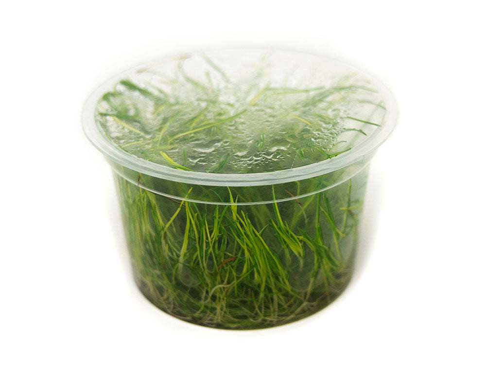 "Mini Hairgrass (Eleocharis acicularis ""Mini"") Tissue Culture"