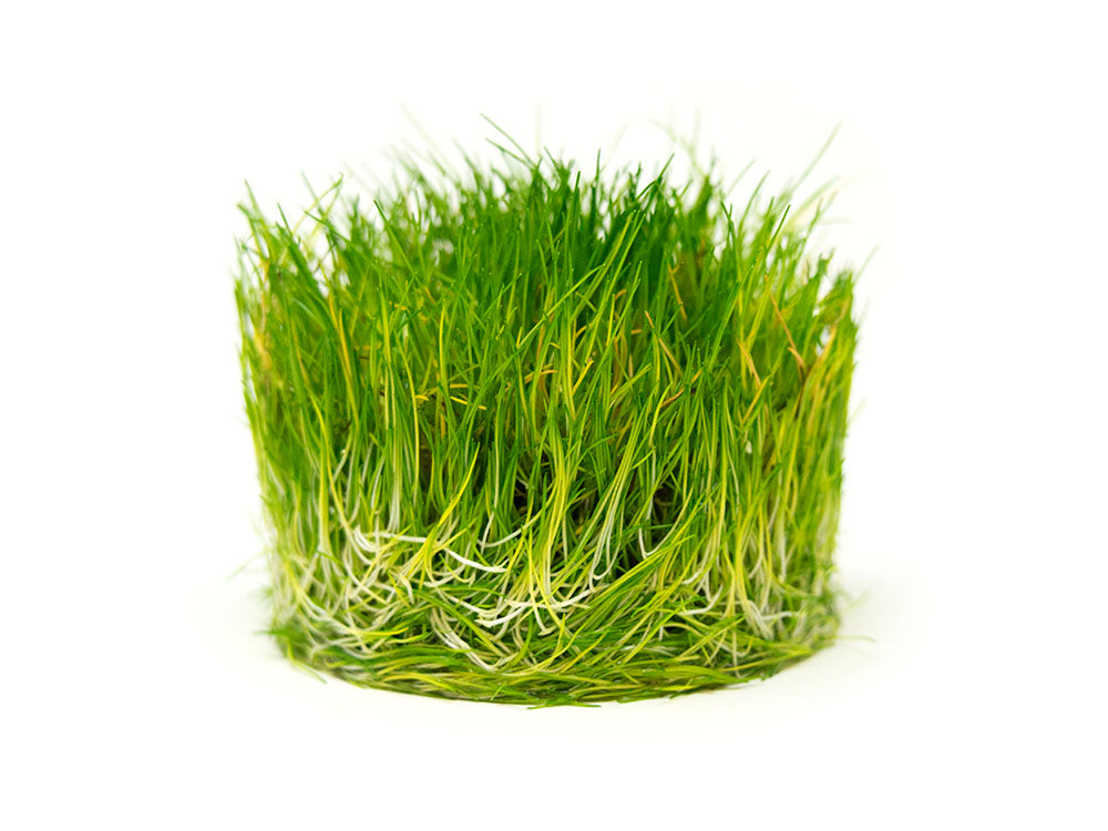 Dwarf Hairgrass (Eleocharis parvula) Tissue Culture