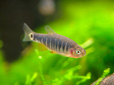 Redfin Three-Striped Dwarf Cichlid (Apistogramma trifasciata) - TANK-BRED!!!