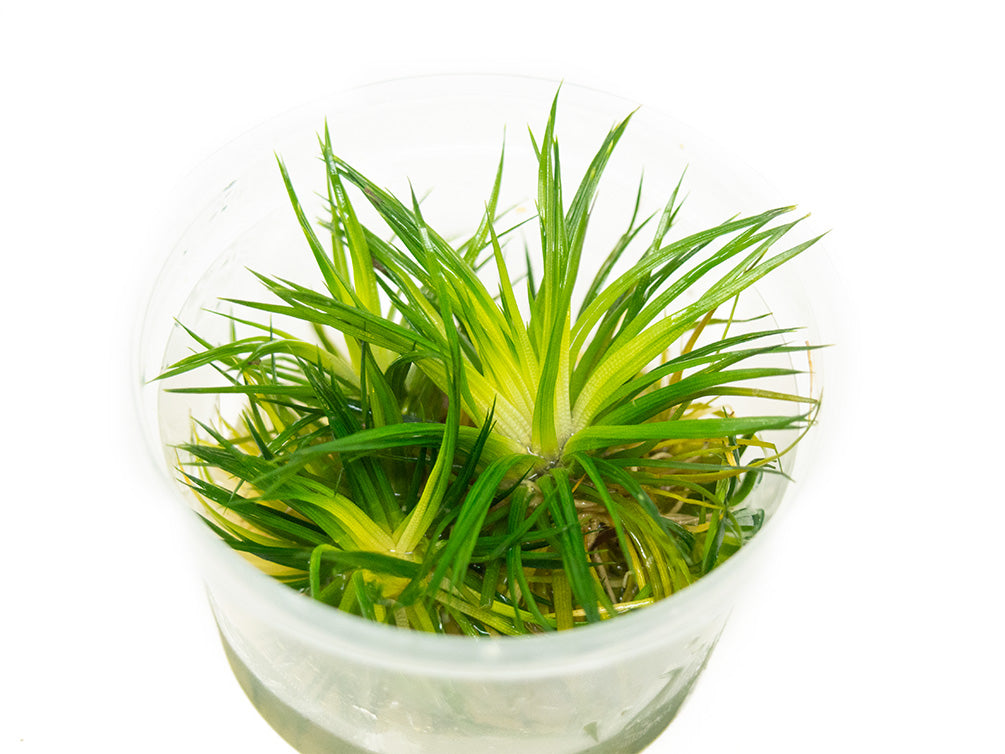 "Polaris Pipewort (Eriocaulon sp. ""Polaris"") Tissue Culture"