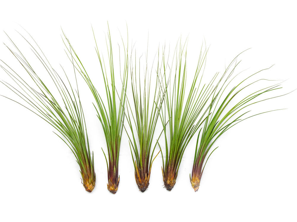 Extra Tall Air Plant Pack - Each Tillandsia 7 or more Inches Tall