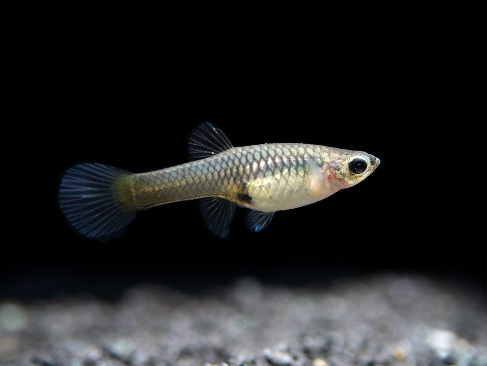 Shocking Pink Endler's Livebearer (Poecilia wingei), K Class Males and Females, USA BRED!!!