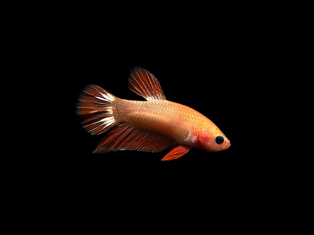 Assorted Fancy Copper Plakat Betta (Betta splendens)- Tank-Bred!