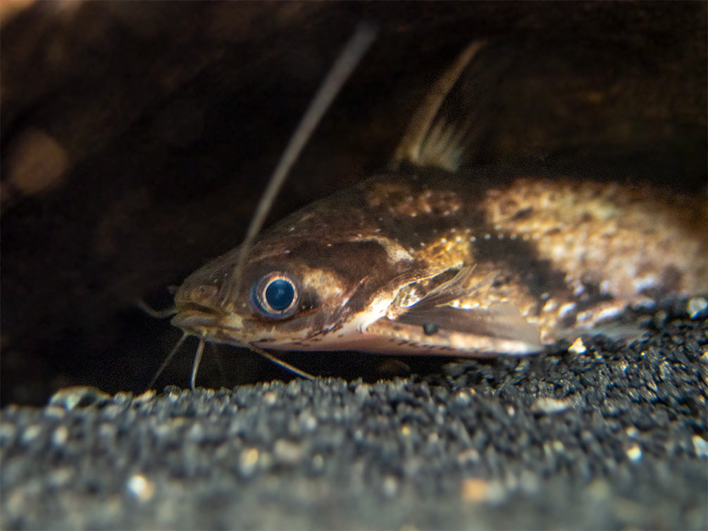 Fisher's AKA Colombian Wood Catfish (Trachelyopterus fisheri), Tank-Bred!