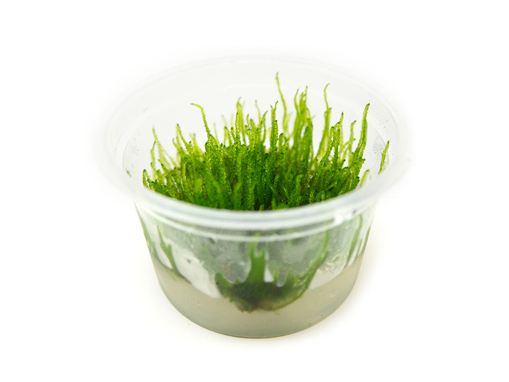"Flame Moss (Taxiphyllum sp. ""Flame"") Tissue Culture"