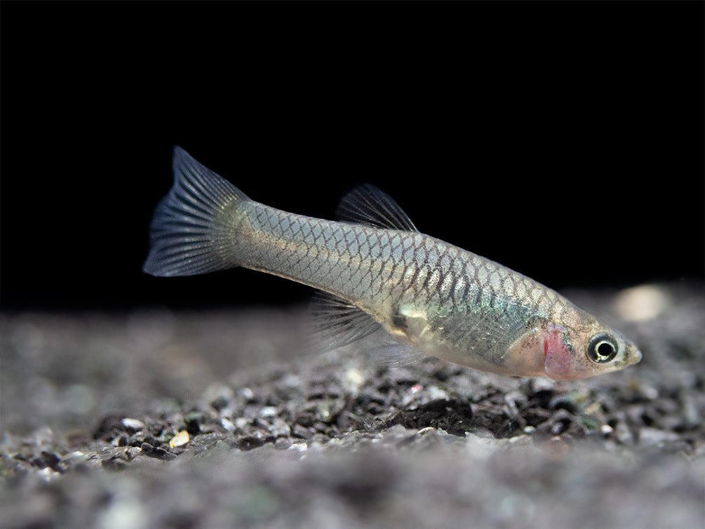 French Blue Star Endler's Livebearer (Poecilia wingei), Tank-Bred!