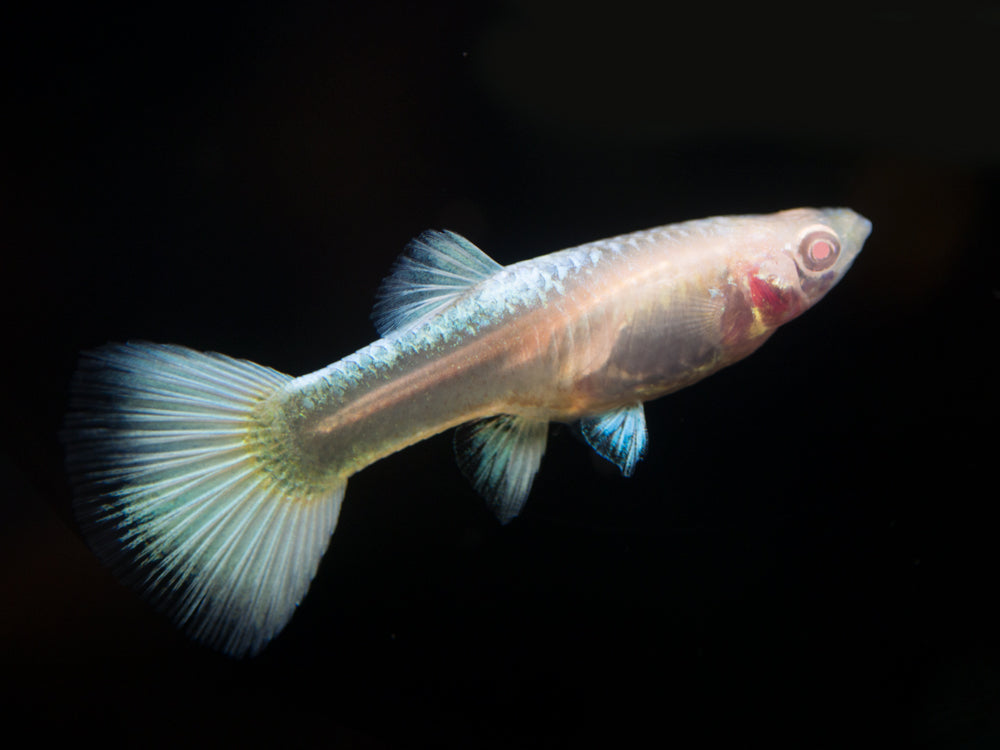 "Full Platinum Albino Guppy, (Poecilia reticulata var. ""Full Platinum Albino""), Males and Females - Tank-Raised!"