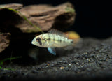 Yellowhump Eartheater Cichlid (Geophagus pellegrini), Tank-Bred!