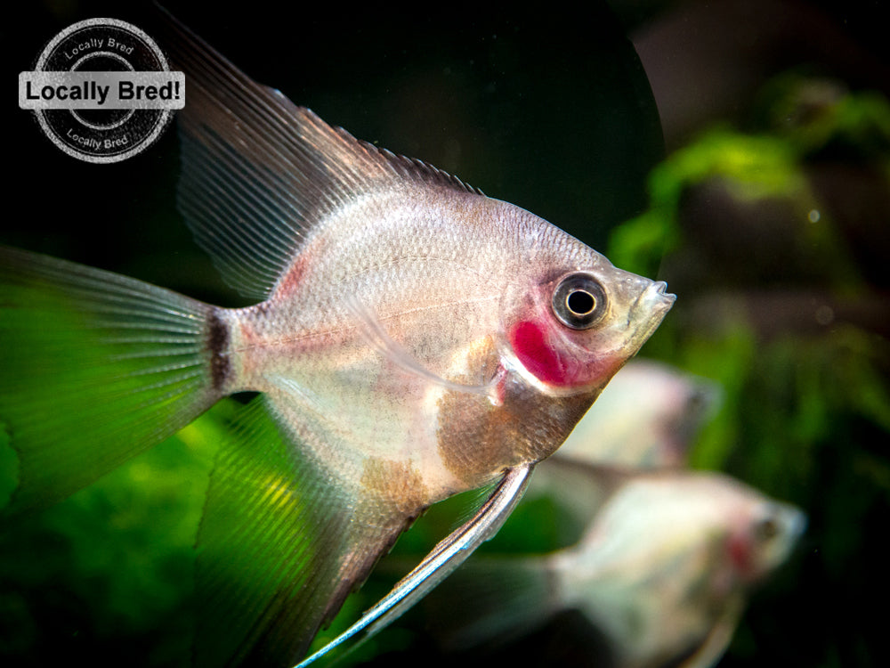 "German Blue Blushing Angelfish (Pterophyllum scalare  ""German Blue Blushing"") - LOCALLY BRED!!!"
