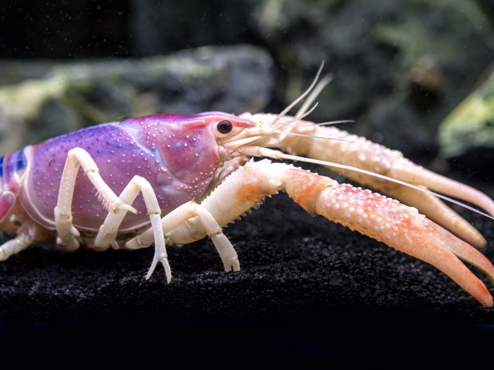 "Ghost Crayfish (Procambarus clarkii var. ""Ghost"") - TANK-RAISED!!!"