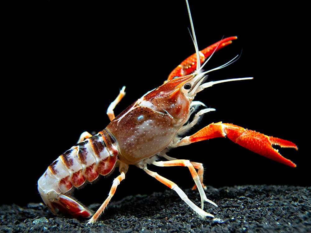 "Ghost Crayfish (Procambarus clarkii var. ""Ghost"") - Tank-Bred!"