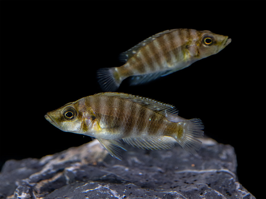 Gold Head Compressiceps Cichlid (Altolamprologus compressiceps), Tank-Bred!