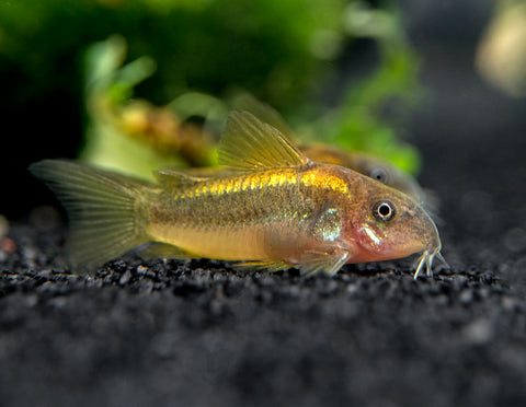 "Pingu Guppy (Poecilia reticulata var. ""Pingu""), Males and Females, TANK-RAISED!!!"