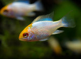 Gold Face Electric Blue Ram Cichlid (Mikrogeophagus ramirezi