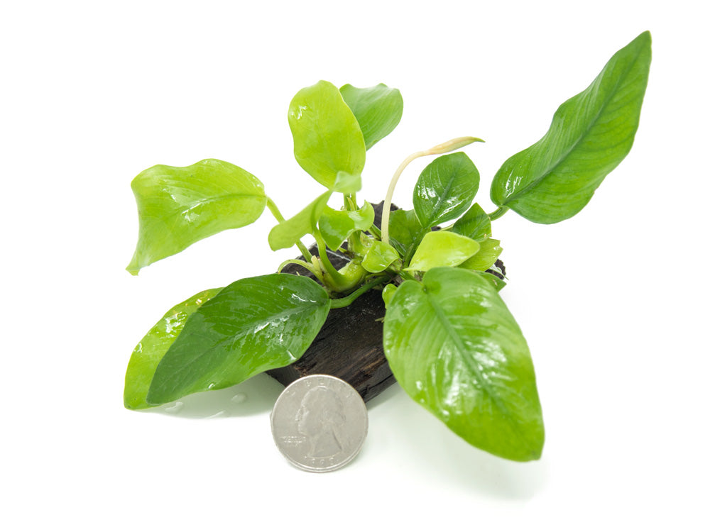 "Golden Anubias Nana (Anubias barteri var. ""Golden Nana"") on 3- to 6-inch Driftwood"