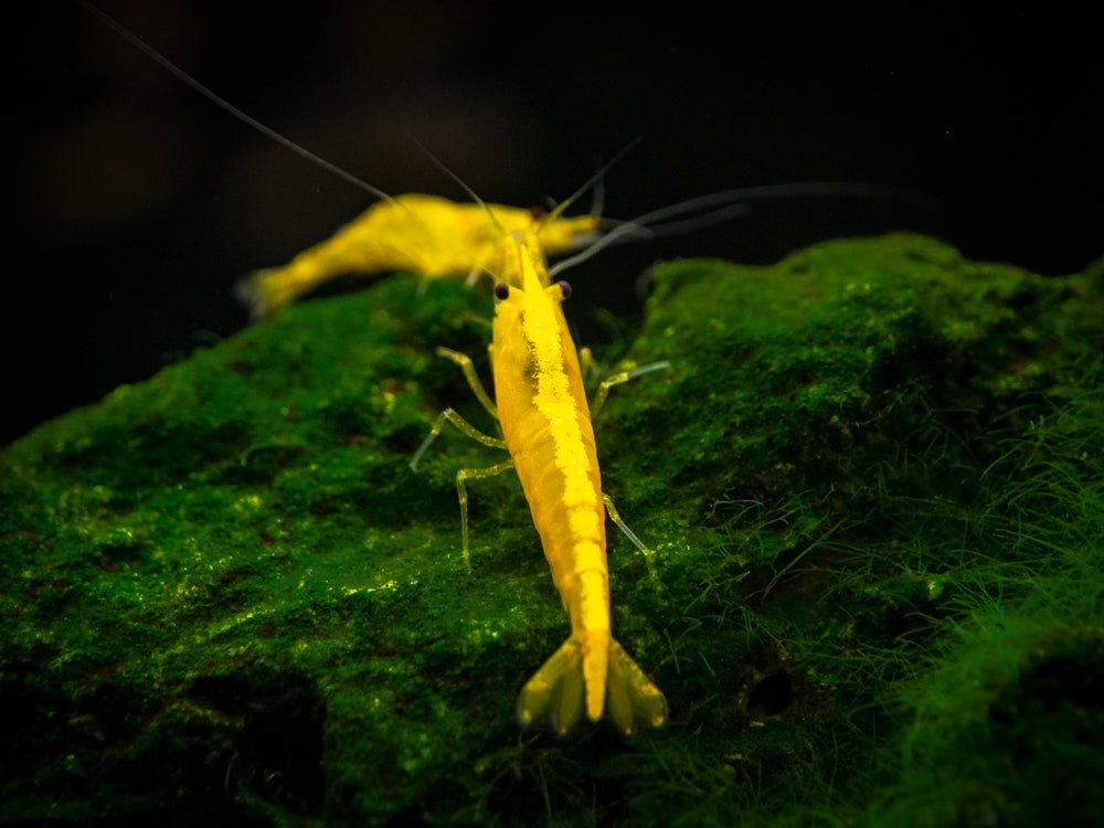 Golden Back Yellow Shrimp (Neocaridina davidi). Tank-Bred!