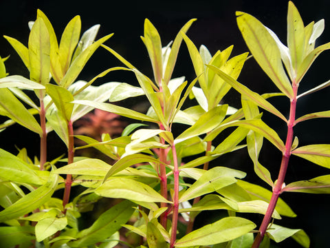 Scarlet Temple (Alternanthera reineckii) Tissue Culture