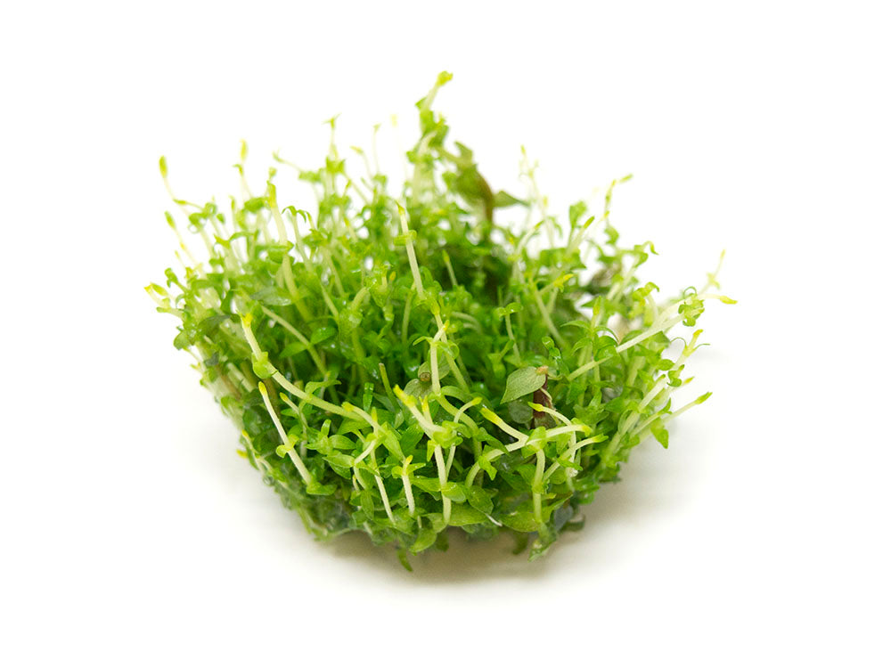 Gratiola viscidula Tissue Culture