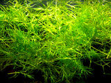 Guppy Grass AKA Najas Grass (Najas guadelupensis), Loose Portion