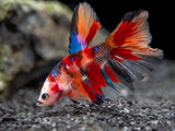 Assorted Koi Halfmoon Betta (Betta splendens) - Tank-Bred!