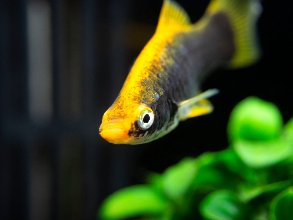 Hamburger Swordtail (Xiphophorus helleri hybrid), Males and Females, Tank-Bred!