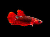 Assorted Hellboy Betta (Betta splendens