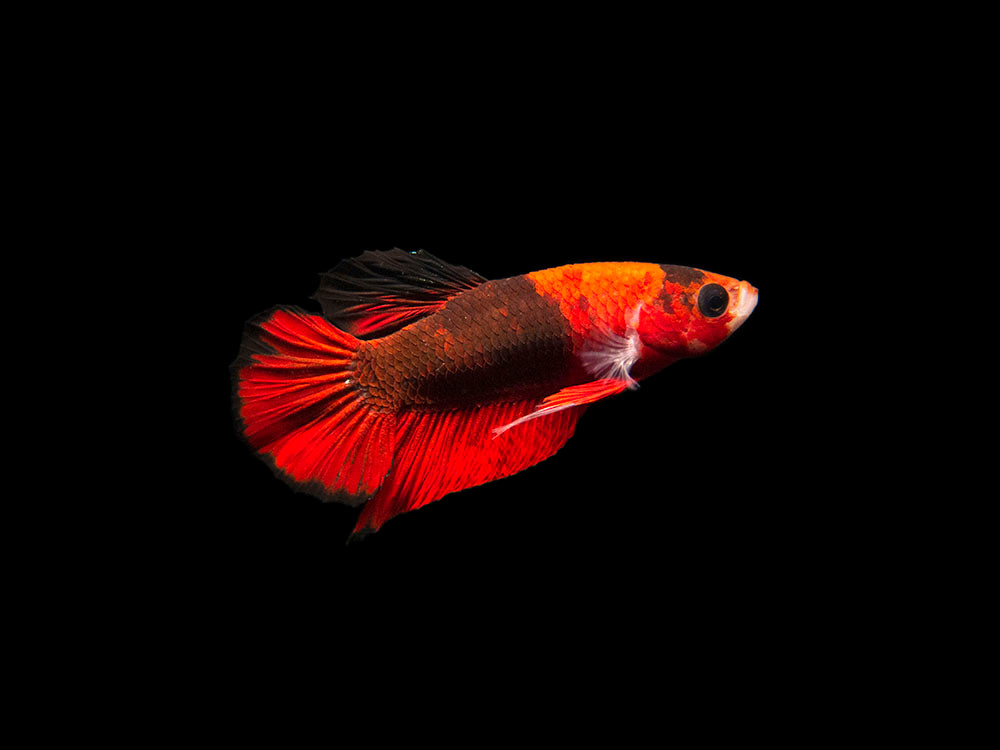 "Assorted Hellboy Betta (Betta splendens ""Hellboy Plakat""), Male - Tank-Bred!"