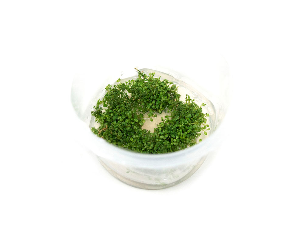 Dwarf Baby Tears (Hemianthus callitrichoides) Tissue Culture