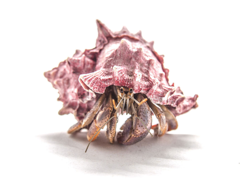 Caribbean Land Hermit Crabs (Coenobita clypeatus) with Deluxe Polished/Pearl Shell