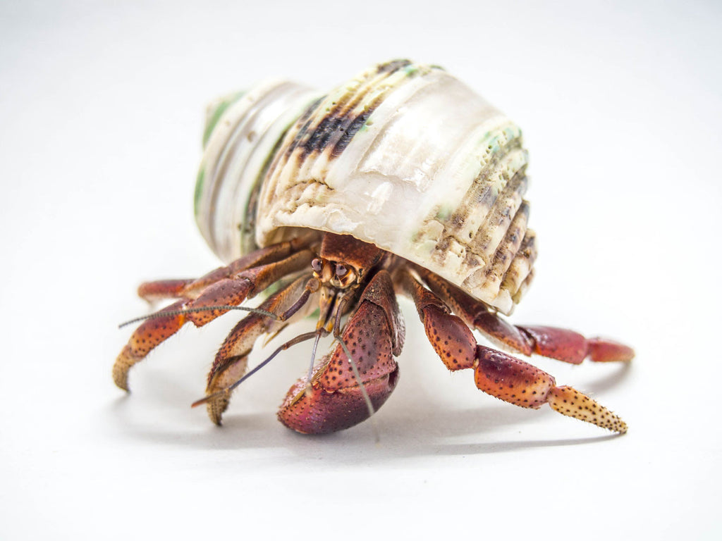 Caribbean Land Hermit Crabs (Coenobita clypeatus) with Deluxe Polished Shell