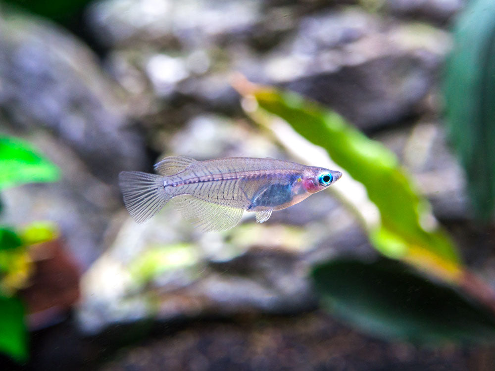 Indian Ricefish (Oryzias dancena) - Tank-Bred!!!