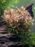 Rotala Indica (6 to 8 inch Bunch)