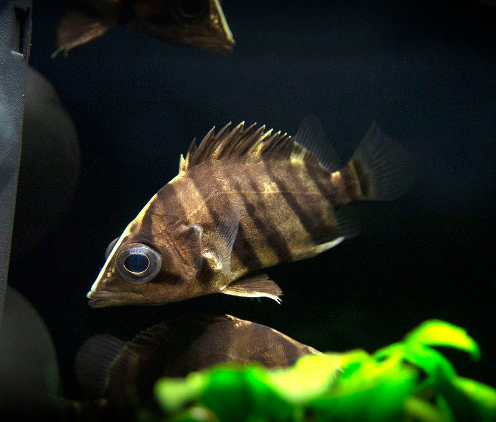 Indonesian Gold Tigerfish (Datnioides microlepis)