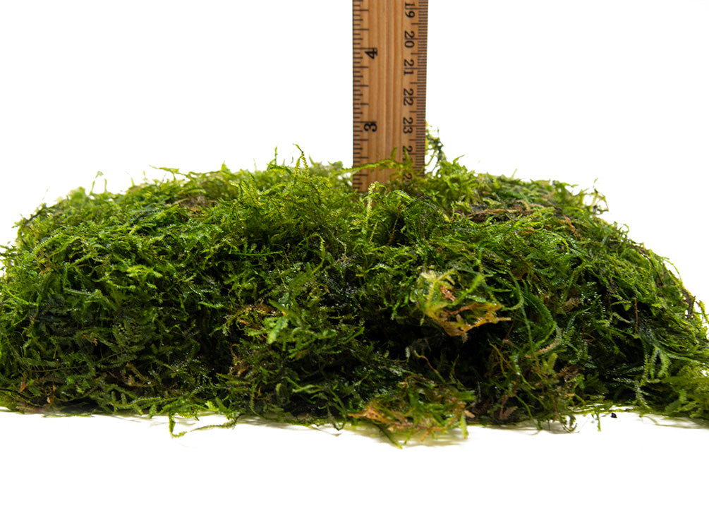 DELUXE Java Moss (Vesicularia dubyana), Loose Portion