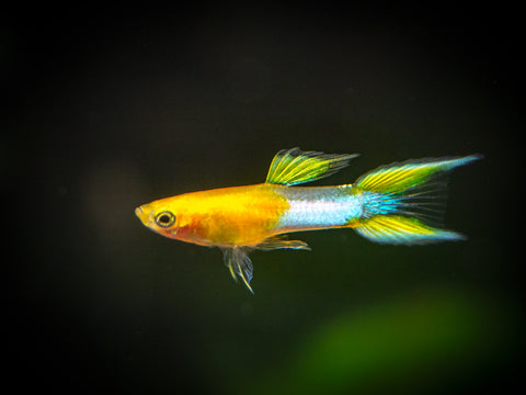 Guppies and Endlers