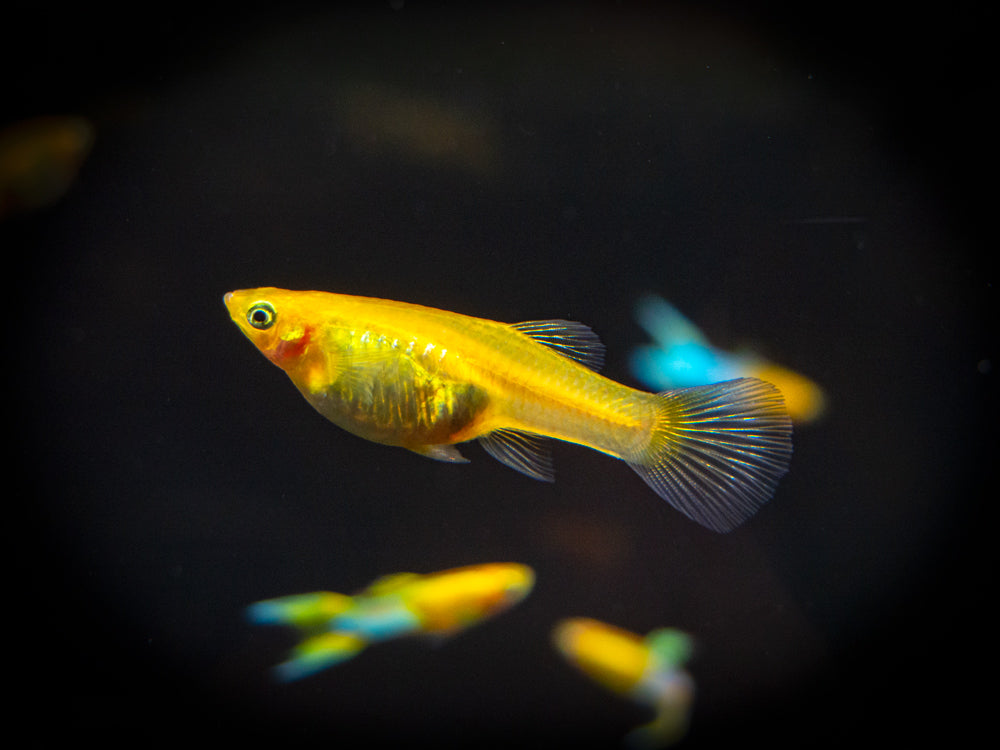"Japan Blue Gold Double Sword Guppy (Poecilia reticulata ""Japan Blue Gold Double Sword""), Males and Females - Tank-Bred!"