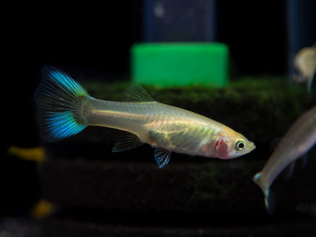 Japan Yellow Endler's Livebearer (Poecilia wingei), Tank-Bred!