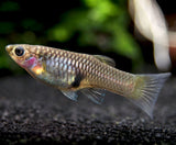 Japan Blue Red Double Sword Guppy (Poecilia reticulata