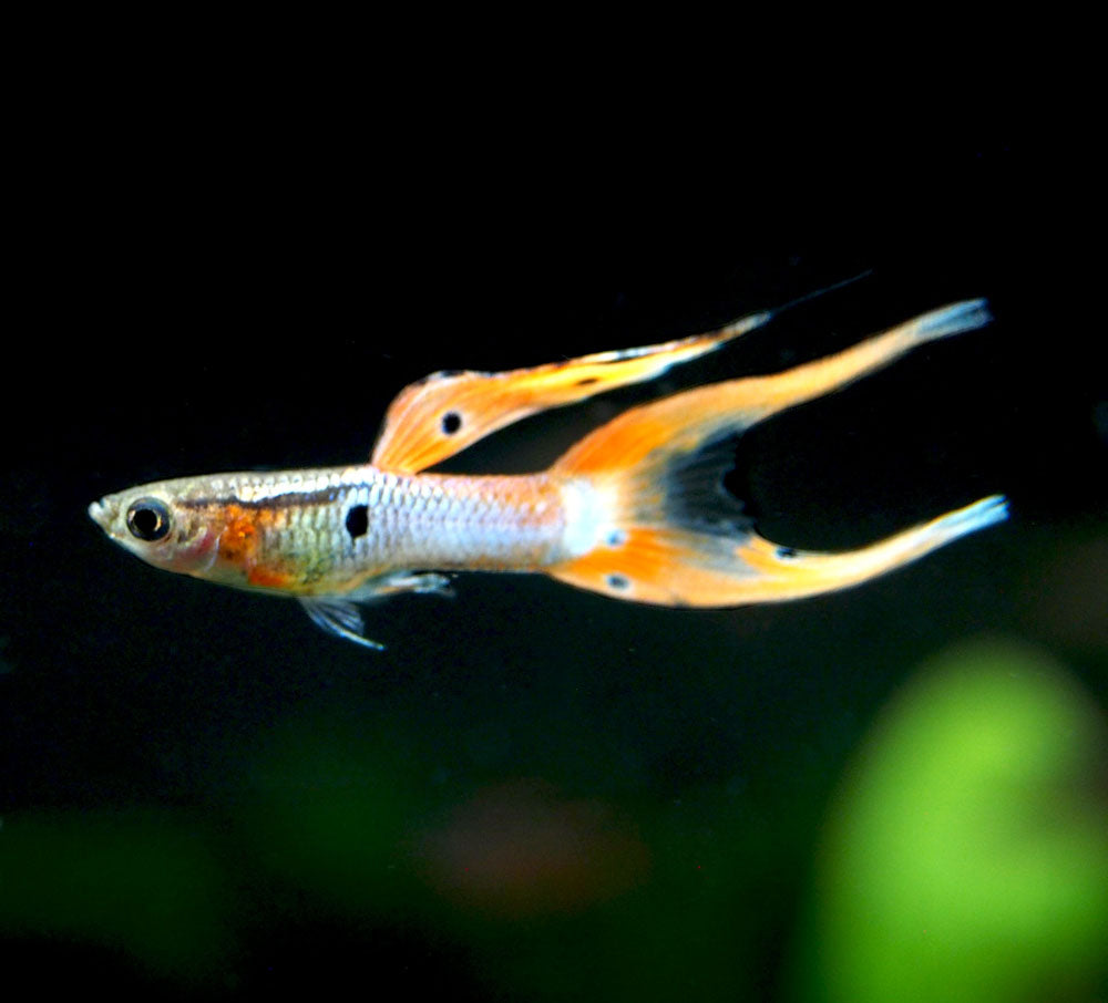 "Japan Blue Red Double Sword Guppy (Poecilia reticulata ""Japan Blue Red Double Sword""), Males and Females - Tank-Bred!"