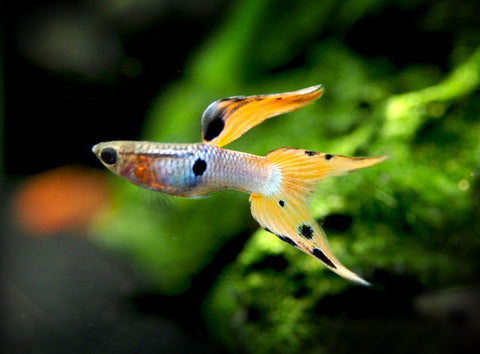 "Blue Pinoy Zebra Angelfish (Pterophyllum scalare var. ""Blue Zebra Pinoy"") - TANK-BRED!!!"