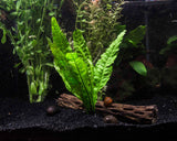 EASY Aquarium Plant Package (30-55 Gallon) - Java Moss, Marimo Moss Balls, Moneywort, Anubias Barteri, and Java Fern