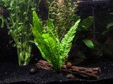 Java Fern Bunches (Microsorum pteropus) - 2 Bunches