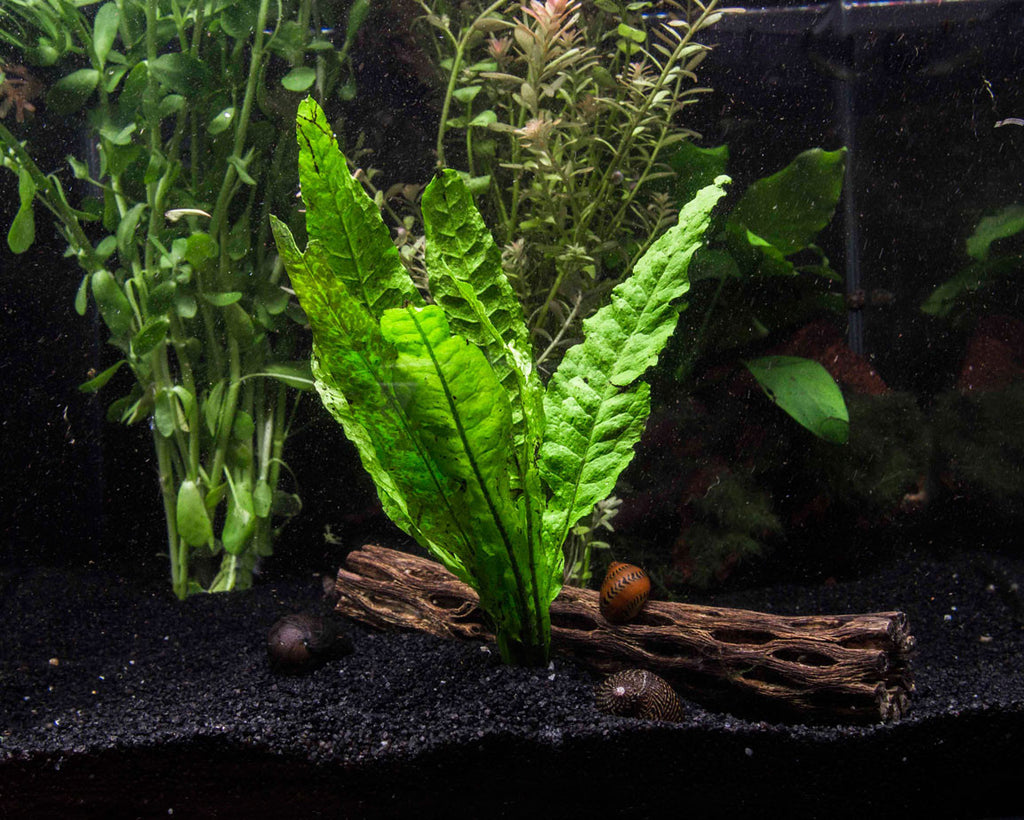 Easy aquarium plant package 10 20 gallon aquatic arts for Easy aquatic plants